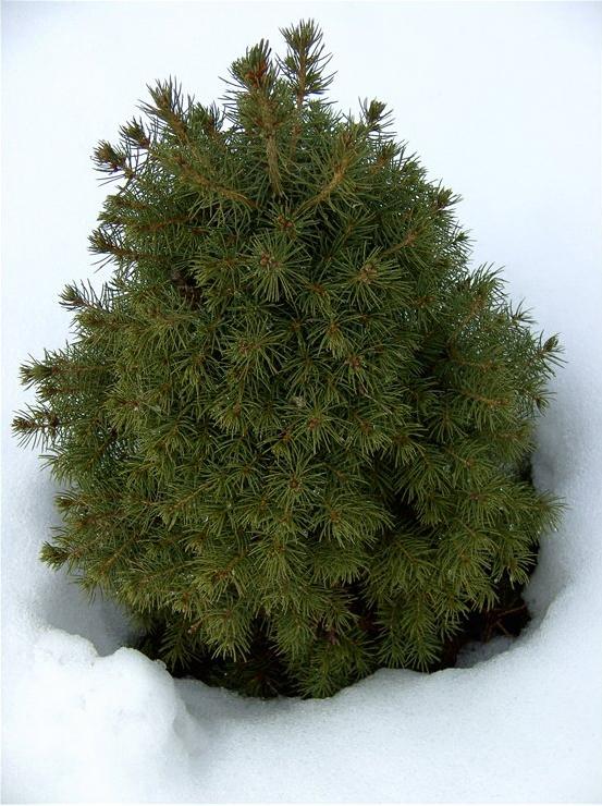 Канадская ель