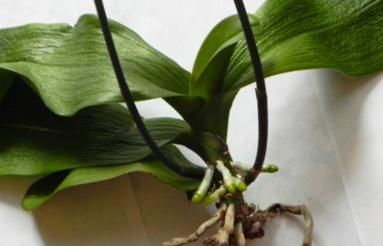 Сгнившие корни и обезвоженное растение