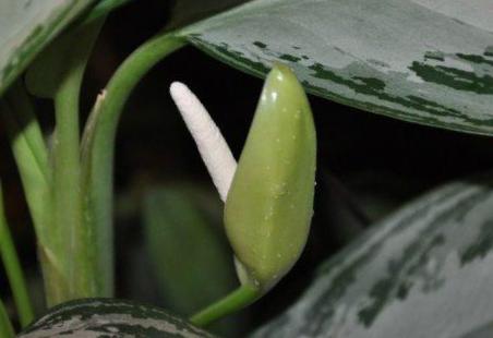 Цветение аглаонемы