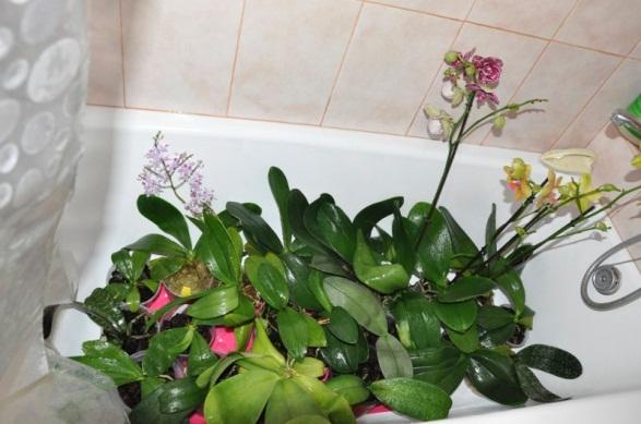 Гарячий душ для орхідеї