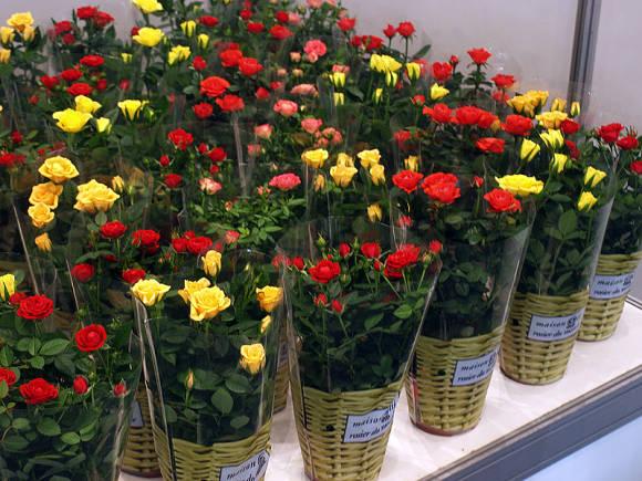 Кімнатна троянда. Догляд  обрізка 0e14c478ad48d