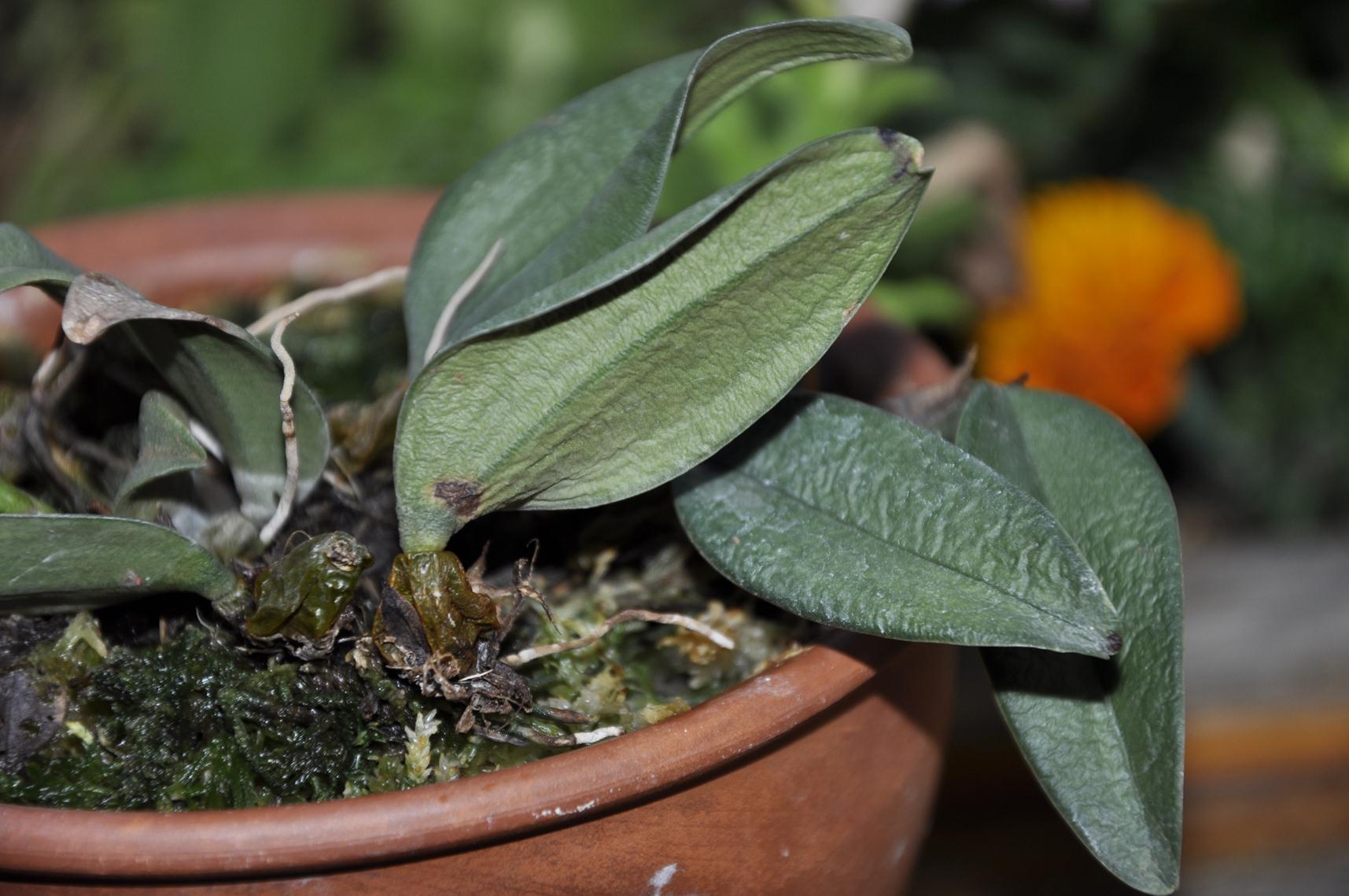 Болезни фаленопсиса и их лечение фото