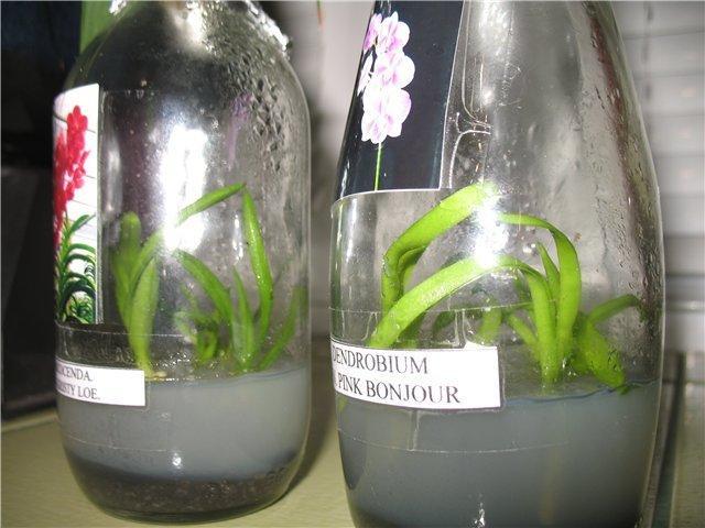 Размножение орхидей сеянцами.