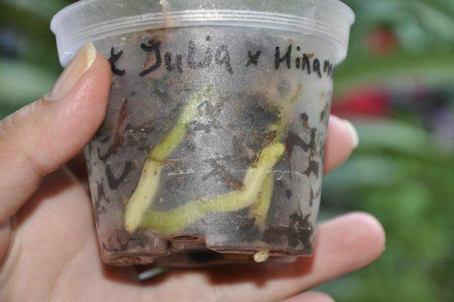 Правильно розвинута орхідея.