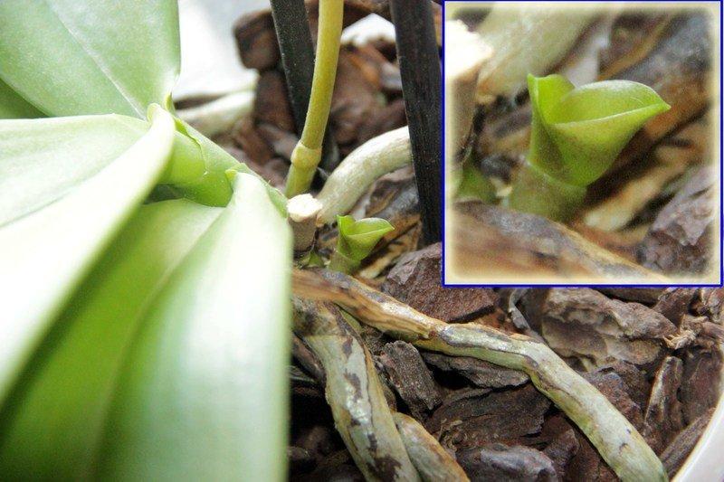 Прикорневая детка орхидеи.