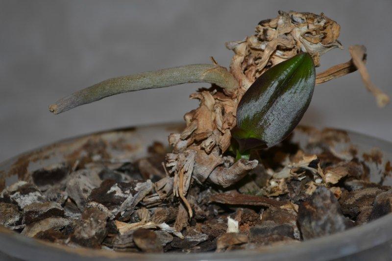 Загибла рослина, на який з'явиться відросток.