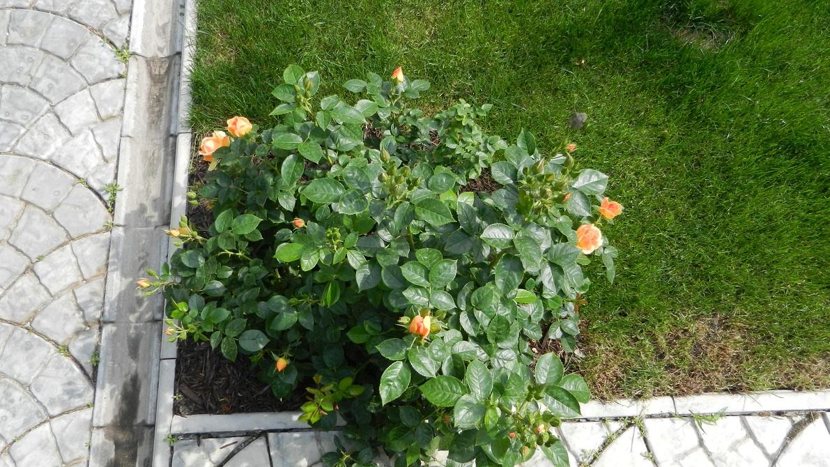 Донор черенков розы