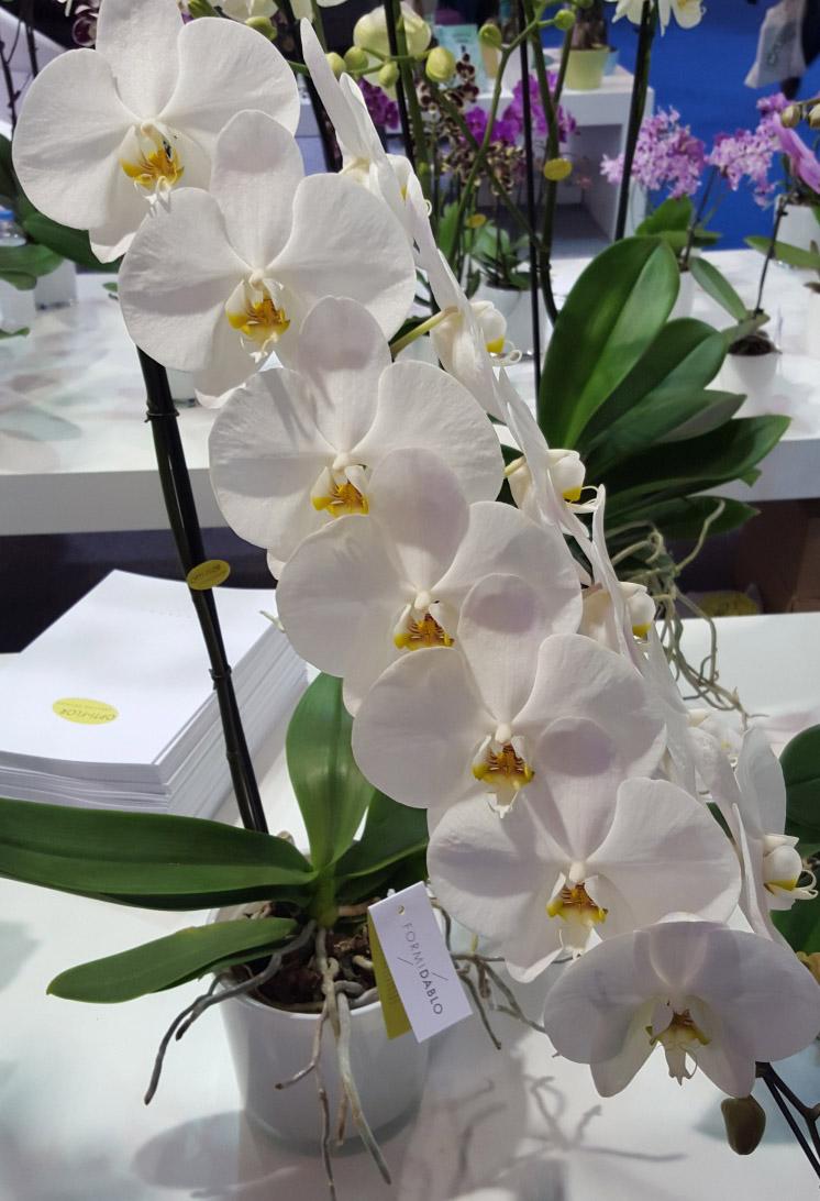 Каскадное цветение Фаленопсиса