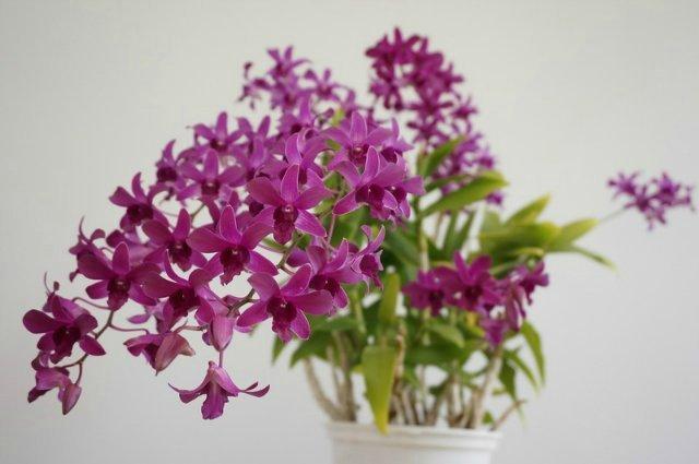 Уход за орхидеей Дендробиум, выращивание, пересадка и полив