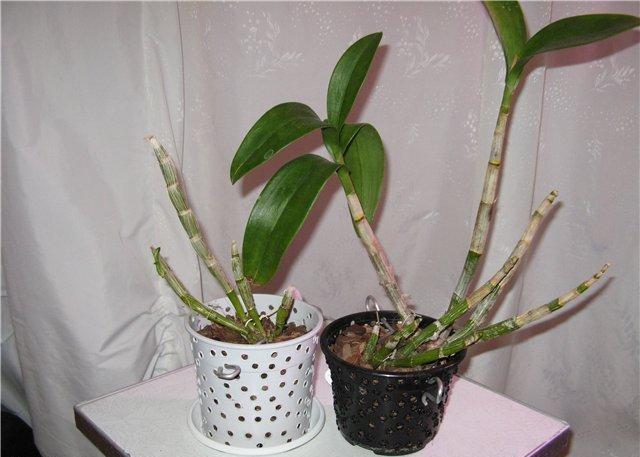 Когда пересаживать орхидеи дендробиум в домашних условиях 724