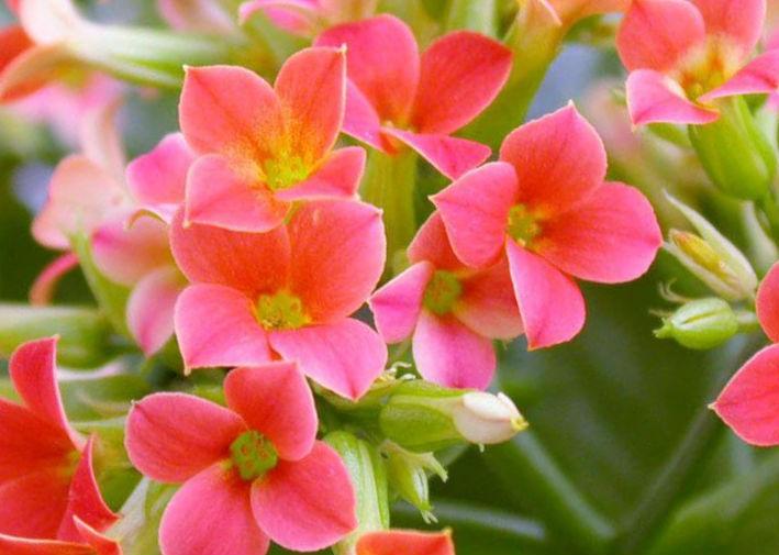 Каланхоэ. Обильное цветение.