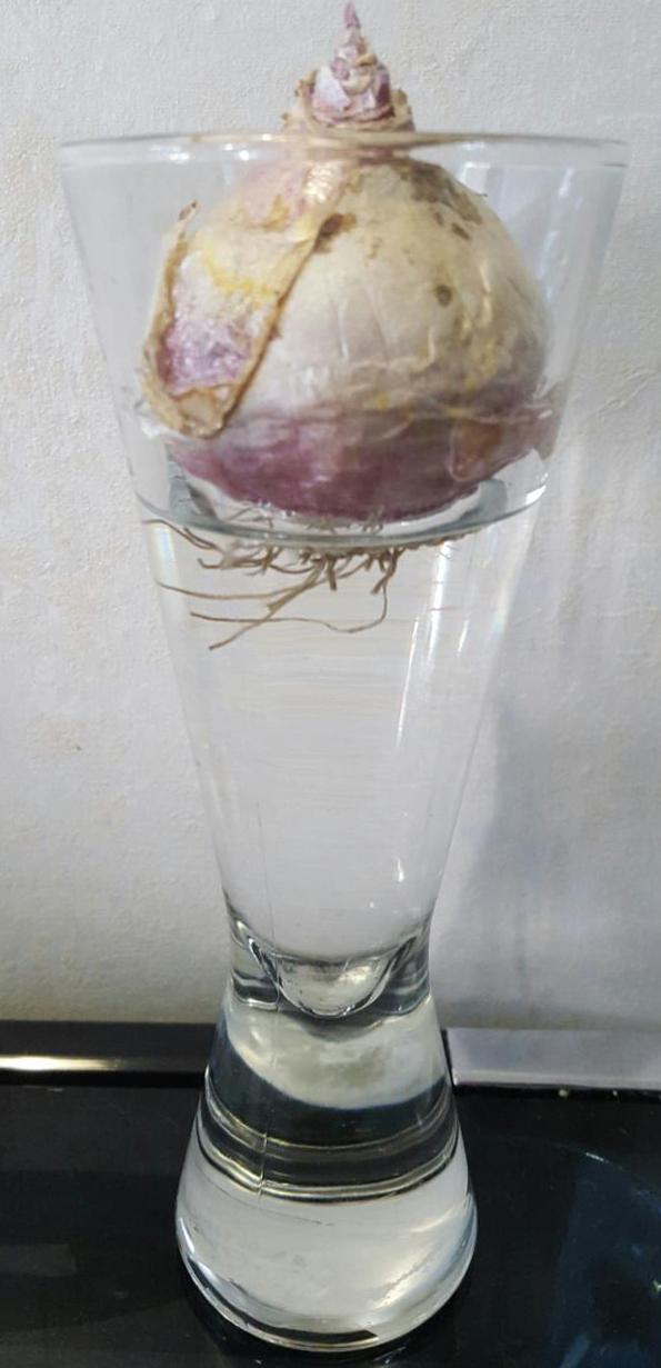 Гиацинт на гидропонике