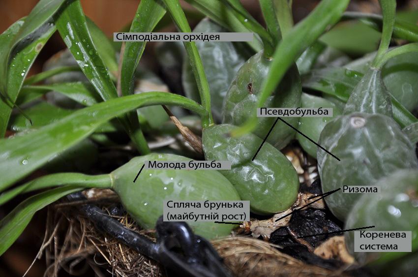 Сімподіальна орхідея. Будова
