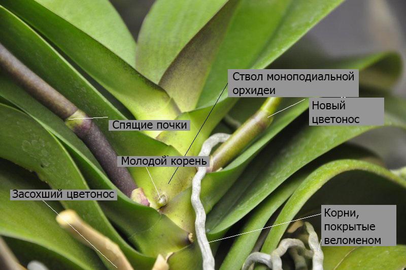 Псевдобульба у орхидеи что такое