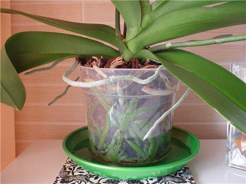 Как поливать орхидею с лейки. Влагу впитывает только нижняя часть корневой системы.