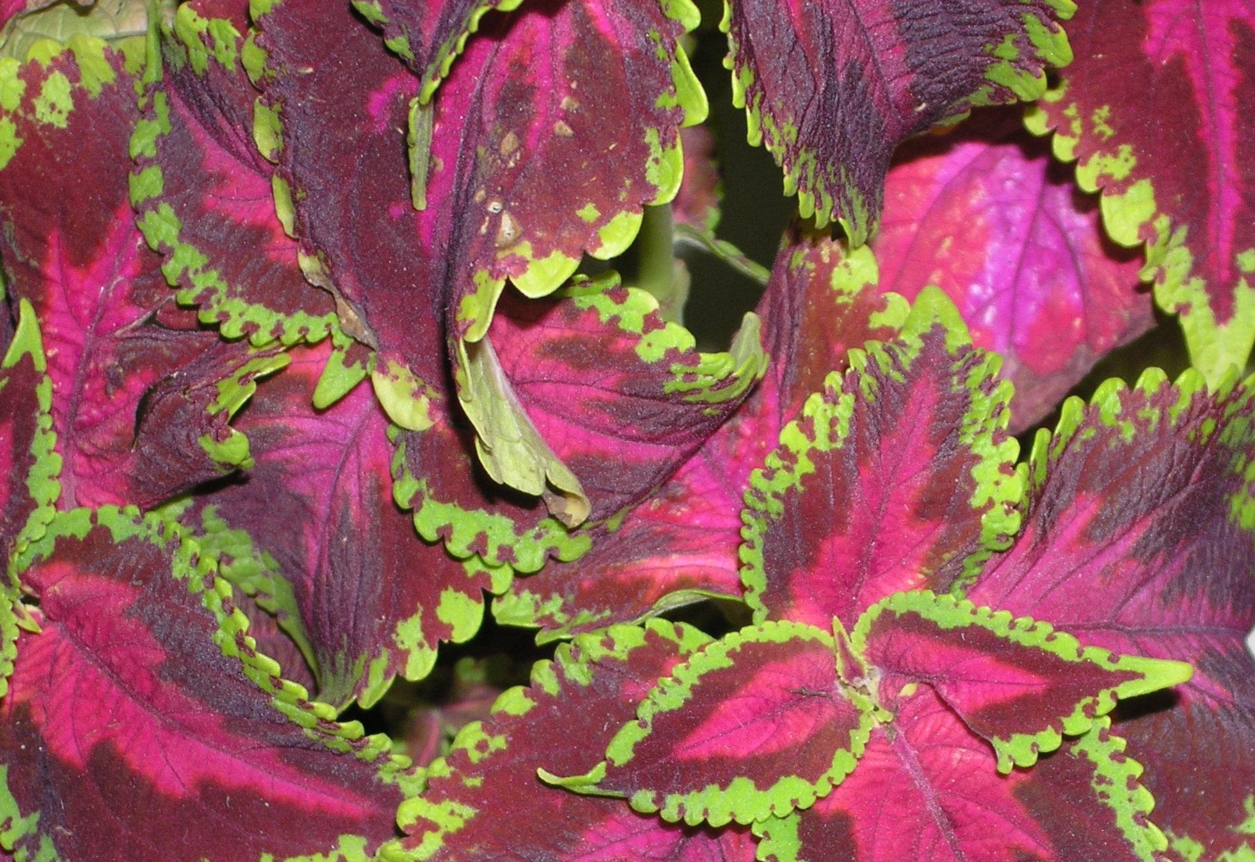 комнатные растения  колеус