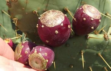 Плоди Опунції. Фото
