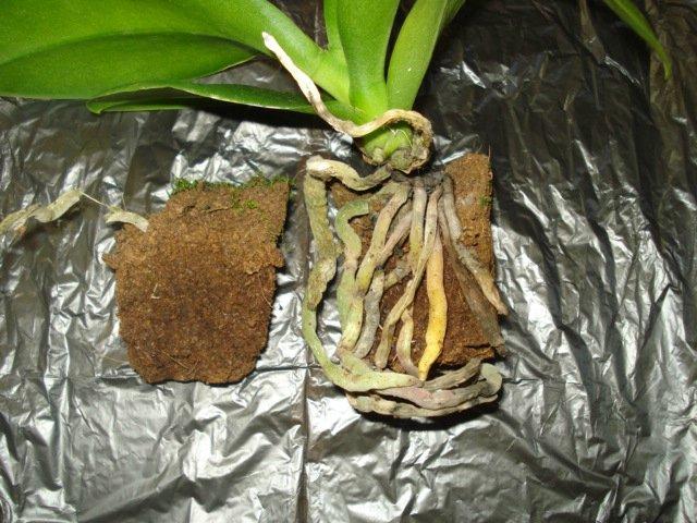 Мох у корней орхидеи