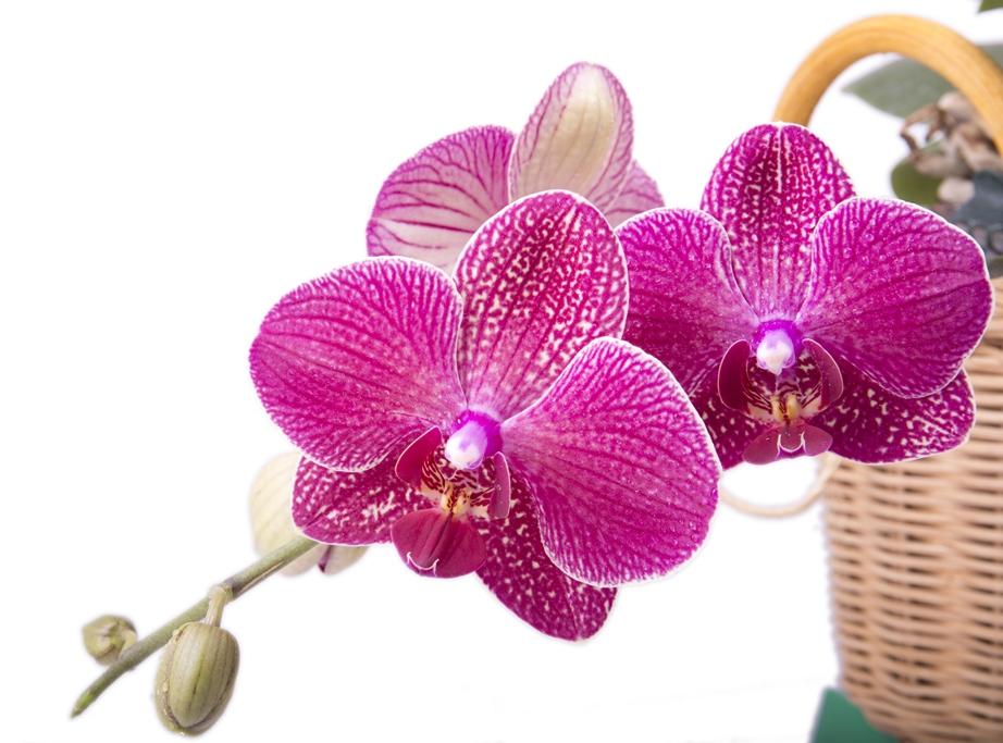 Орхідея Фаленопсис фото