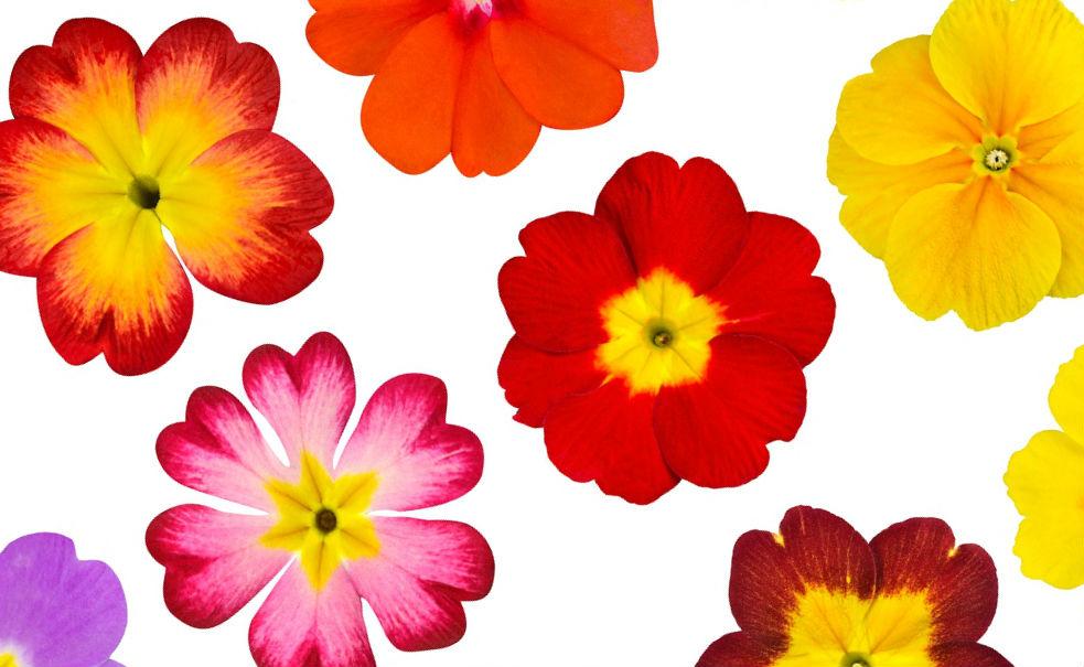 Разноцветные цветы Примулы