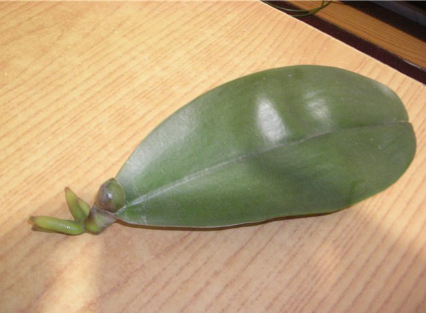 Как спасти орхидею без листьев и без корней