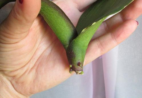 орхидея реанимировать без корней