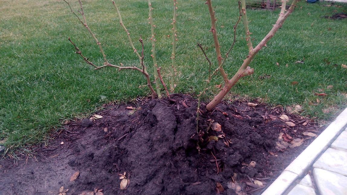 Обрезанный и укрытый куст розы на зиму