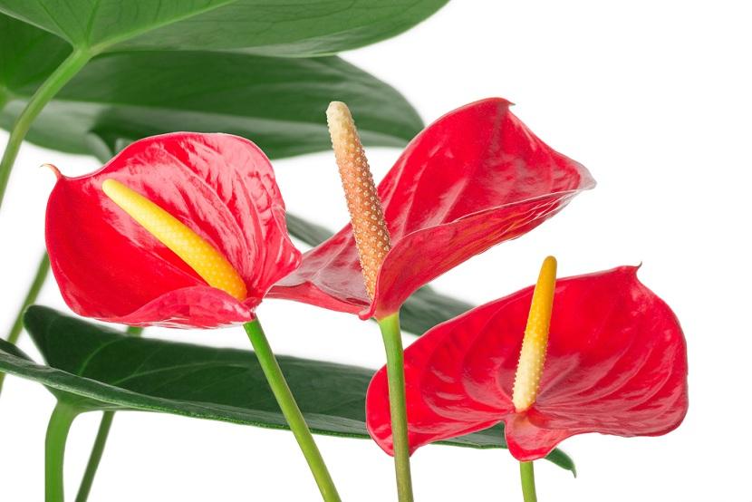 Антуріум цвіте.