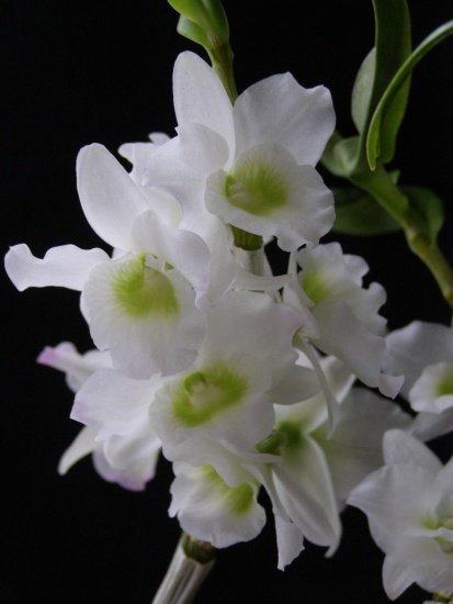 Орхидея Нобиле Фото