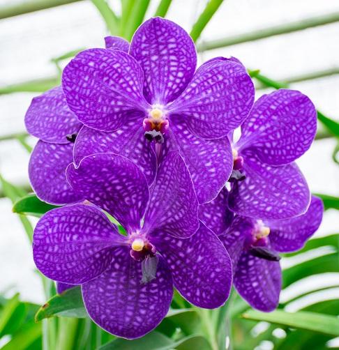 Голубая орхидея Ванда
