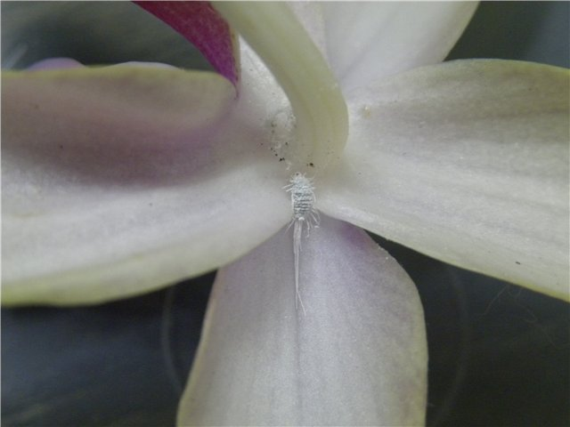 Квітка орхідеї з червецем